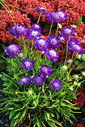 Ultra Violet Pincushion Flower (Scabiosa caucasica 'Ultra Violet') at Roger's Gardens