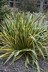Bright Edge Adam's Needle (Yucca filamentosa 'Bright Edge') at Roger's Gardens