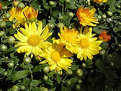 Michelle Chrysanthemum (Chrysanthemum 'Michelle') at Roger's Gardens