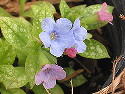 Baby Blue Lungwort (Pulmonaria 'Baby Blue') at Roger's Gardens