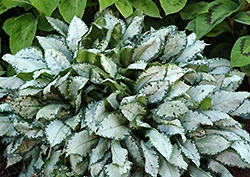 Moonshine Lungwort (Pulmonaria 'Moonshine') at Roger's Gardens