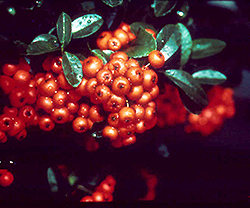 Gnome Firethorn (Pyracantha angustifolia 'Gnome') at Roger's Gardens