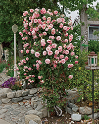 Pearly Gates Rose (Rosa 'WEKmeyer') at Roger's Gardens