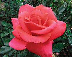 We Salute You Rose (Rosa 'WEKvoosun') at Roger's Gardens