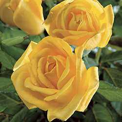 Radiant Perfume Rose (Rosa 'Radiant Perfume') at Roger's Gardens