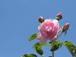 Harlow Carr Rose (Rosa 'Aushouse') at Roger's Gardens