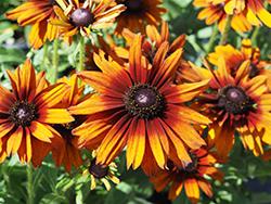 Summerina Orange Echibeckia (Echibeckia 'ET-RDB 01') at Roger's Gardens
