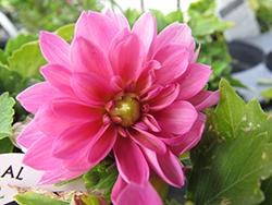 Dahlinova Lisa Dark Pink Dahlia (Dahlia 'Dahlinova Lisa Dark Pink') at Roger's Gardens