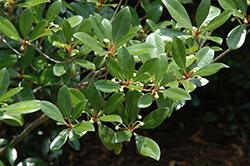 Japanese Cleyera (Cleyera japonica) at Roger's Gardens