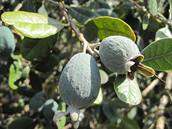 Pineapple Guava (Feijoa sellowiana) at Roger's Gardens