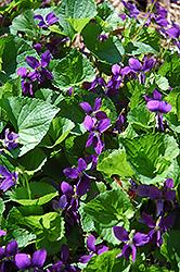 Blue Marsh Violet (Viola obliqua) at Roger's Gardens