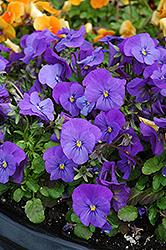 Penny Blue Pansy (Viola cornuta 'Penny Blue') at Roger's Gardens
