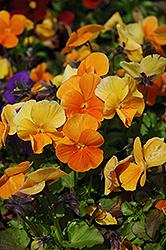Penny Orange Pansy (Viola cornuta 'Penny Orange') at Roger's Gardens