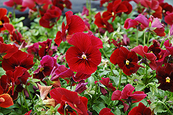 Penny Red Pansy (Viola cornuta 'Penny Red') at Roger's Gardens