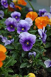 Velour Blue Pansy (Viola 'Velour Blue') at Roger's Gardens