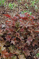 Palace Purple Coral Bells (Heuchera micrantha 'Palace Purple') at Roger's Gardens