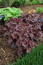 Velvet Night Coral Bells (Heuchera 'Velvet Night') at Roger's Gardens