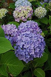Endless Summer Hydrangea (Hydrangea macrophylla 'Endless Summer') at Roger's Gardens