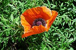 Oriental Poppy (Papaver orientale) at Roger's Gardens