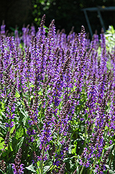 Showy Catmint (Nepeta grandiflora) at Roger's Gardens