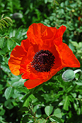 Allegro Poppy (Papaver orientale 'Allegro') at Roger's Gardens