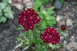 Sweet William (Dianthus barbatus) at Roger's Gardens