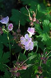 Ingerwesen's Variety Cranesbill (Geranium macrorrhyzum 'Ingerwesen's Variety') at Roger's Gardens