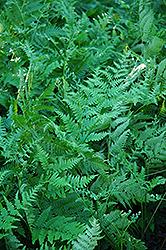 Bracken Fern (Pteridium aquilinum) at Roger's Gardens