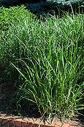 Switch Grass (Panicum virgatum) at Roger's Gardens