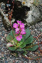 Bitterroot (Lewisia cotyledon) at Roger's Gardens