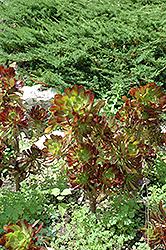 Purple Aeonium (Aeonium arboreum 'var. atropurpureum') at Roger's Gardens