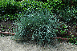 Blue Oat Grass (Helictotrichon sempervirens) at Roger's Gardens