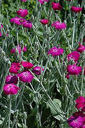 Rose Campion (Lychnis coronaria) at Roger's Gardens