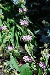 Sageleaf Mullein (Phlomis tuberosa) at Roger's Gardens