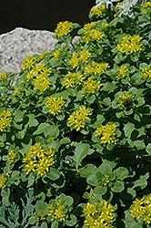 Russian Stonecrop (Sedum kamtschaticum) at Roger's Gardens