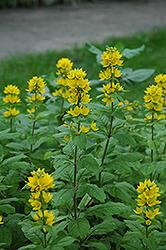 Yellow Loosestrife (Lysimachia punctata) at Roger's Gardens
