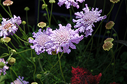 Giant Blue Pincushion Flower (Scabiosa 'Giant Blue') at Roger's Gardens