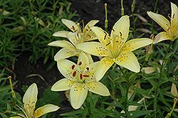 Sea Breeze Lily (Lilium 'Sea Breeze') at Roger's Gardens