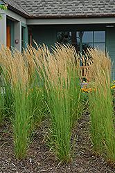 Karl Foerster Reed Grass (Calamagrostis x acutiflora 'Karl Foerster') at Roger's Gardens