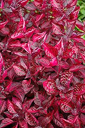 Blood Leaf (Iresine herbstii) at Roger's Gardens