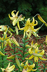 August Gold Lily (Lilium 'August Gold') at Roger's Gardens