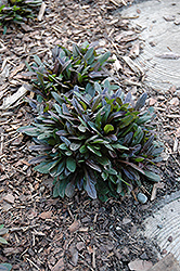 Chocolate Chip Bugleweed (Ajuga reptans 'Chocolate Chip') at Roger's Gardens