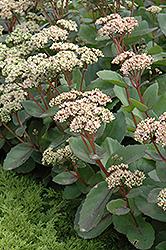 Matrona Stonecrop (Sedum 'Matrona') at Roger's Gardens
