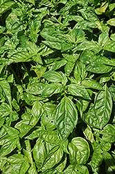 Sweet Basil (Ocimum basilicum) at Roger's Gardens