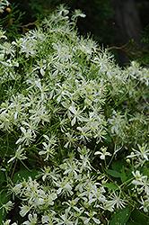 Vase Vine Clematis (Clematis paniculata) at Roger's Gardens