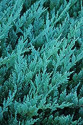 Blue Chip Juniper (Juniperus horizontalis 'Blue Chip') at Roger's Gardens