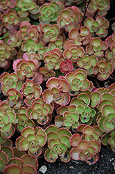 Fulda Glow Stonecrop (Sedum spurium 'Fuldaglut') at Roger's Gardens