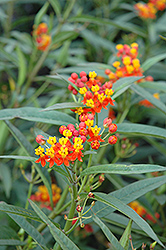 Red Butterfly Milkweed (Asclepias curassavica 'Red Butterfly') at Roger's Gardens