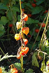Chinese Lantern (Physalis alkekengi) at Roger's Gardens