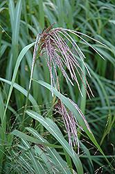 Maiden Grass (Miscanthus sinensis) at Roger's Gardens